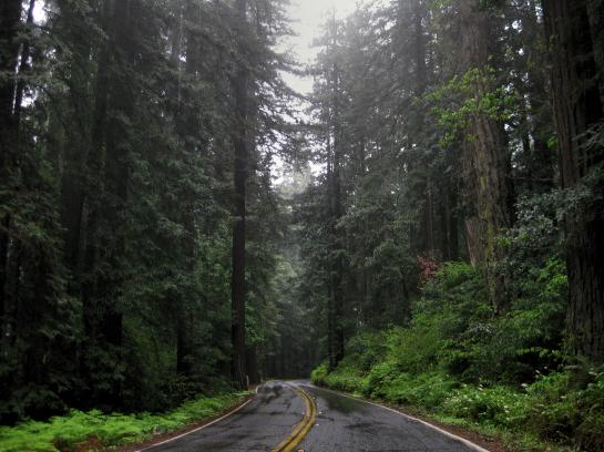 Pacific Coast Highway snakes through a Redwood forest in northern California.