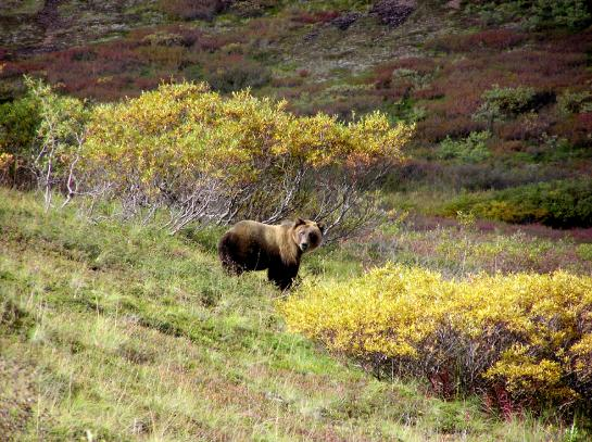 A Denali grizzly bear stands near the Park road. (photo by Brian Leukart)