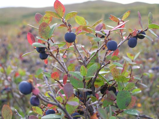 Blueberries blanket the wilderness in Denali National Park.