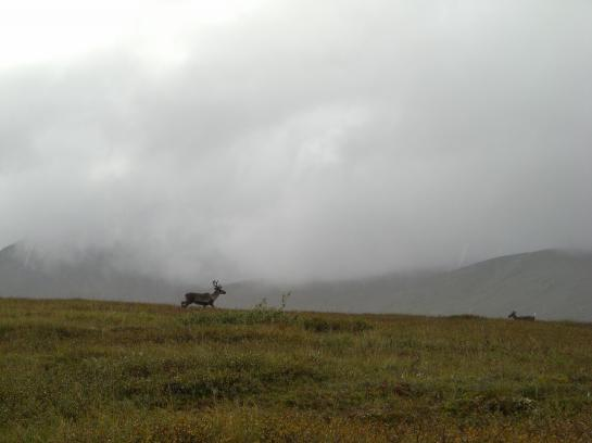 Caribou run across the horizon in Denali National Park.