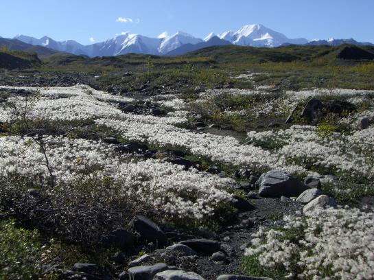 Fields of flowers pave the way back to the Denali Park road.