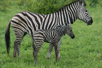 A zebra and her newborn baby stand together in the Linyanti Wildlife Reserve.