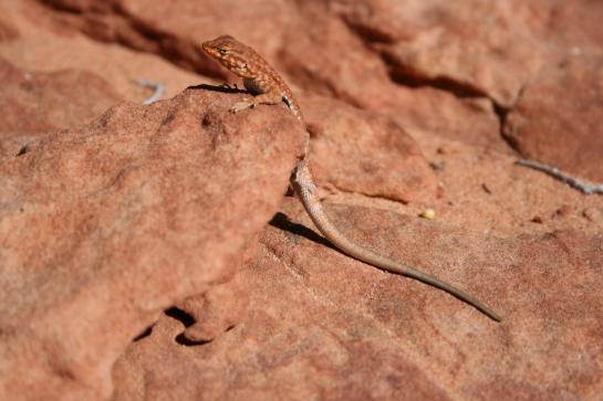 A lizard rests on a rock in the Utah desert.