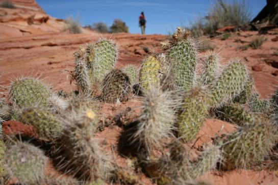 A hiker walks in the distance beyond desert cacti.