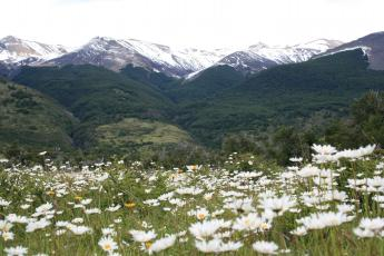 Kilometers of fields of daisies in Torres del Paine National Park in Chilean Patagonia.