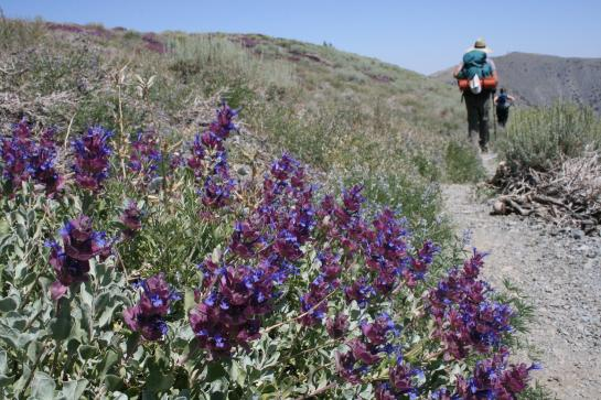 Desert wildflowers blanket Arcane Meadows in Death Valley.