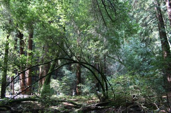 Almost half of Muir Woods is filled with old growth Coast Redwood trees.