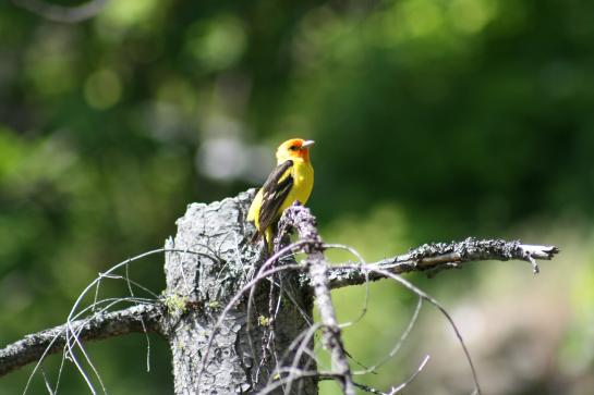 A bright yellow and orange Western Tanager sits on a tree stump.