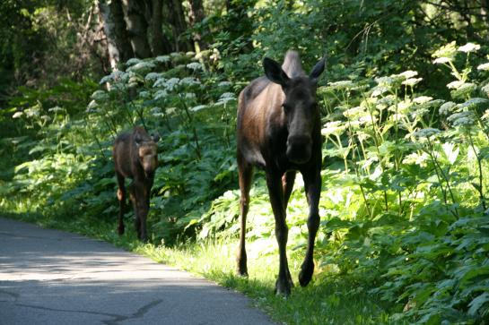 Moose join hikers and bikers on Anchorage's Coastal Trail.