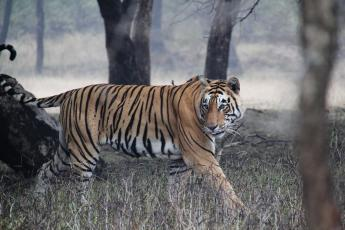 Tiger T17 saunters through Ranthambore National Park, India.