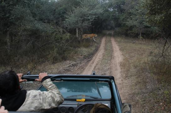 Tiger T17 crosses a road in front of a Gypsy in Ranthambore, India.