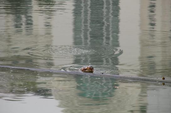 The Hoan Kiem turtle surfaces in Hanoi's Green Lake.
