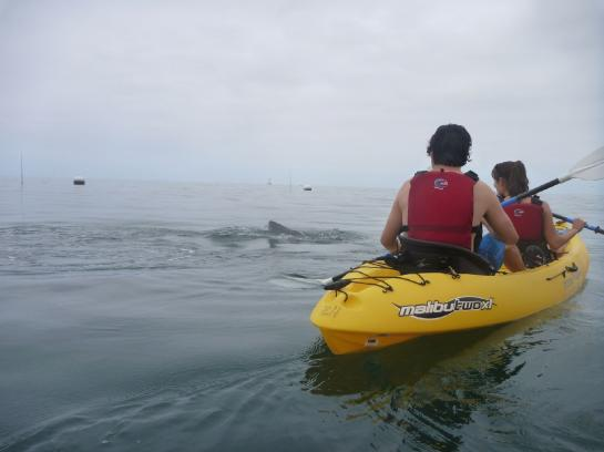 A seal jumps above the surface of the water next to a sea kayak near Catalina Island.