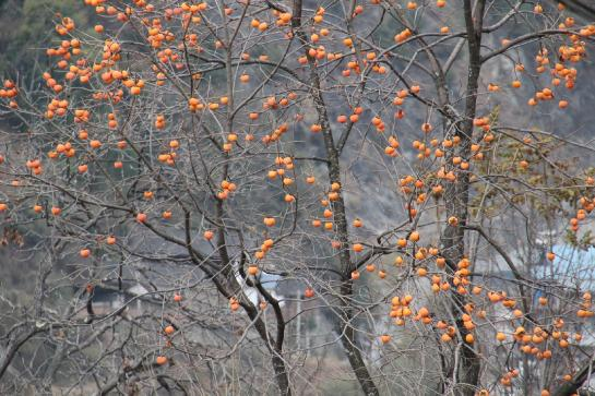 A kumquat tree in China's Tiger Leaping Gorge