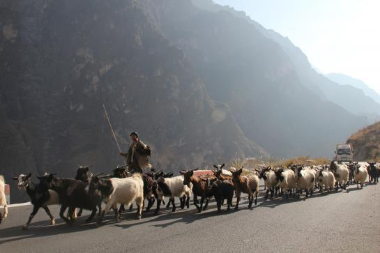 A farmer herds goats on a newly-paved road in China's Tiger Leaping Gorge.