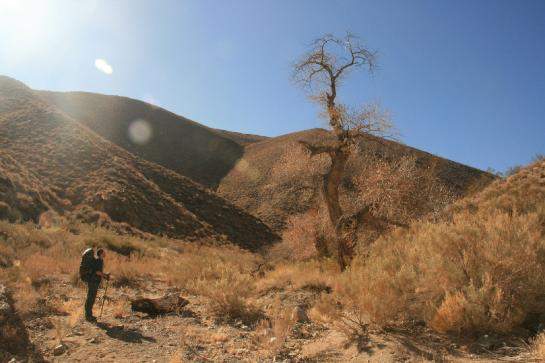 A hiker looks at a Cottonwood tree in a small oasis near Dead Horse Canyon, Death Valley, Ca.