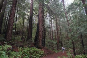 A hiker takes a photo of a huge redwood tree in San Francisco's Pescadero Creek Park.