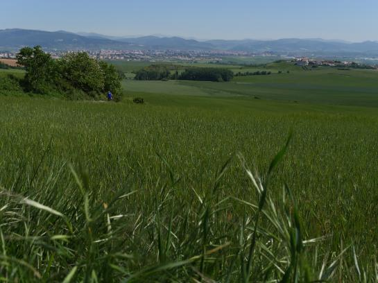 Pamplona, the largest city on the Camino de Santiago, is surrounded by fields of wheat.