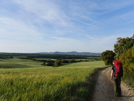 A Camino pilgrim looks out at fields of barley while walking the Camino de Santiago.