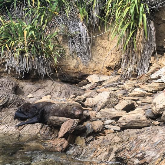 A seal sleeps on the shore in Queen Charlotte Sound, New Zealand.